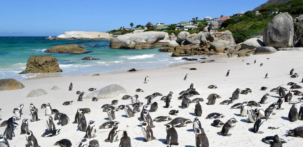 Penguins at Boulders Beach in Simonstown Cape Town